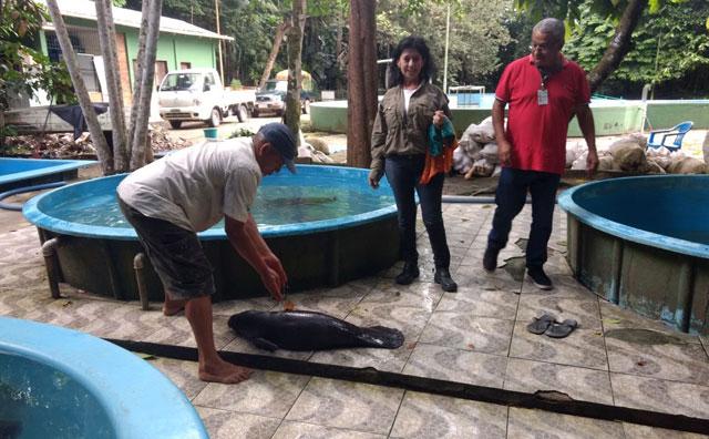 Filhote de Peixe-Boi é resgatado em Manacapuru