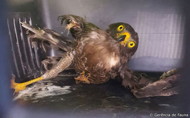 IPAAM resgata gavião-carijó com asas cortadas por linha de cerol
