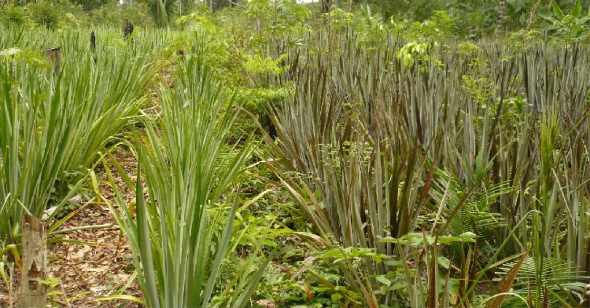 Curauá é exemplo de potencial comercial do bionegócio